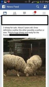 Freezer sheep edit