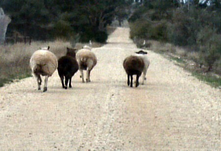 road-sheep