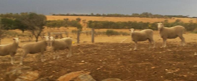 sheep 4 5 6 7 8